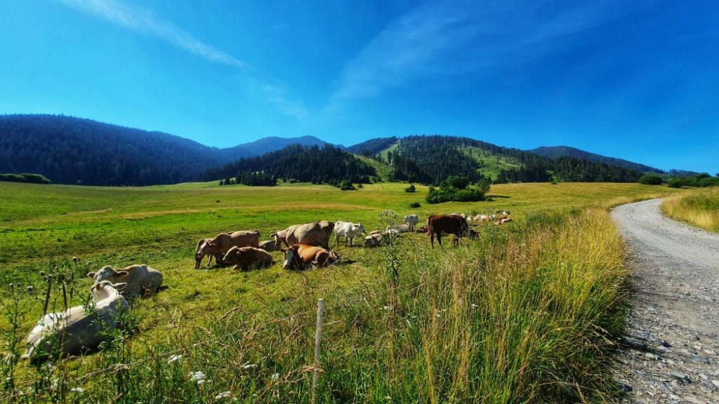liptovske-kravy-a-pohlad-na-nizke-tatry